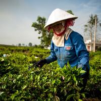 Vietnam, Bao Loc. Tea plantations, DSC_3327
