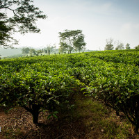 Vietnam, Bao Loc. Tea plantations, DSC_3342