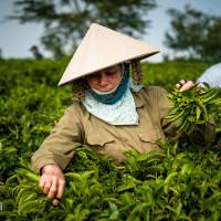 Vietnam, Bao Loc. Tea plantations, DSC_3367