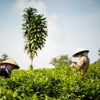 Vietnam, Bao Loc. Tea plantations, DSC_3380