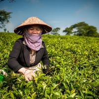 Vietnam, Bao Loc. Tea plantations, DSC_3390