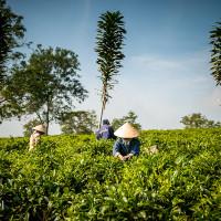 Vietnam, Bao Loc. Tea plantations, DSC_3398