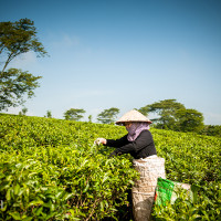 Vietnam, Bao Loc. Tea plantations, DSC_3399