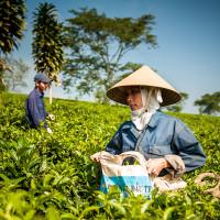 Vietnam, Bao Loc. Tea plantations, DSC_3406
