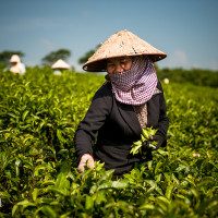 Vietnam, Bao Loc. Tea pickers, DSC_3454