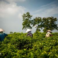 Vietnam, Bao Loc. Tea plantations, DSC_3483
