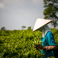 Vietnam, Bao Loc. Tea plantations, DSC_3486