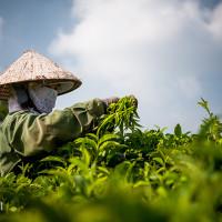 Vietnam, Bao Loc. Tea plantations, DSC_3517