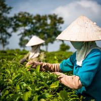 Vietnam, Bao Loc. Tea plantations, DSC_3547