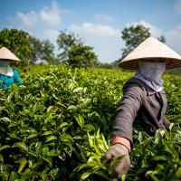 Vietnam, Bao Loc. Tea plantations, DSC_3605