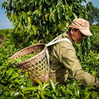 Vietnam, Bao Loc. Tea plantations, DSC_3618