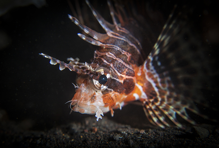 lion_fish_close_up_seraya