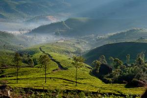 Pysznie zielone herbaciane pagórki