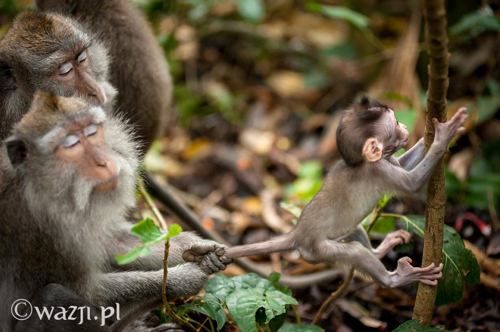 8. Indonezja, Bali. Małpy z popularnego Monkey Forest w Ubud. Siła spokoju starszych - bezcenna. (lipiec 2014)
