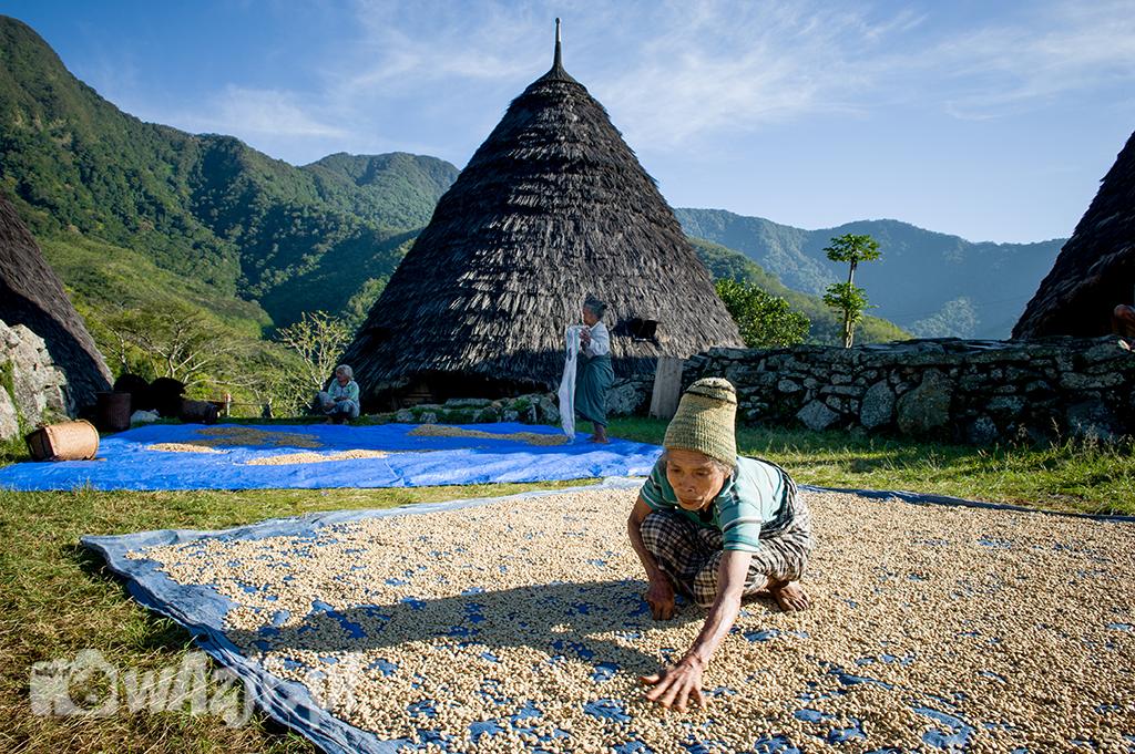Indonezja, Flores. Poranna praca przy suszeniu ziaren kawy w wiosce Wae Rebo. (lipiec 2015)