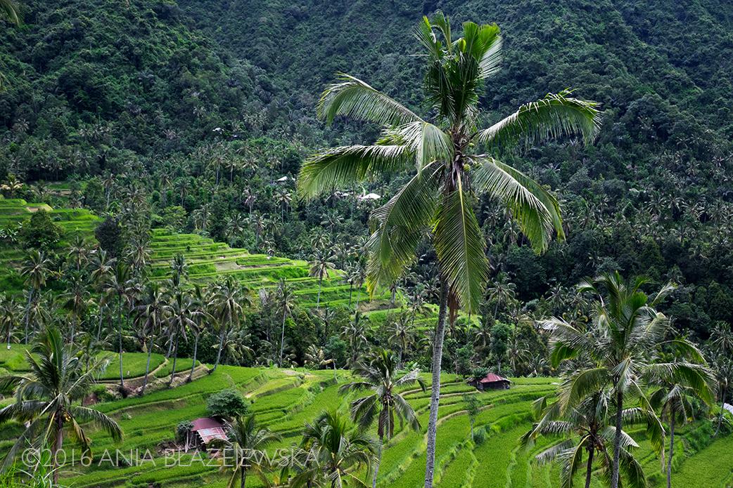 Okolice wodospadu Sekumpul, Bali. Kwiecień 2016. Te rewelacyjne tarasy ryżowe to jedno z tegorocznych odkryć na Bali.