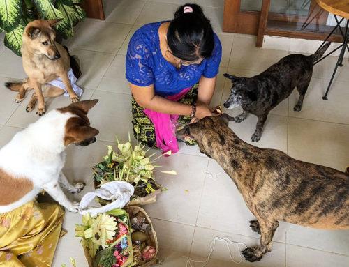Tumpek Kandang, czyli balijska ceremonia dla zwierząt