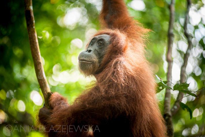 orangutan_bukit_lawang_sumatra